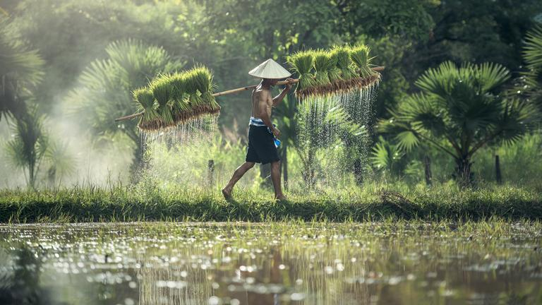 Ben's Original Farmer Harvests Rice Plant Website Photography